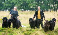 Couple Share Their Home With 7 Huge Newfoundland Dogs: 'They Aren't the Breed for Everyone'