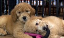'Pandemic Puppies' Trend Dogged by Animal Welfare Concerns