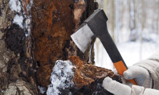The Birch Tree Fungus That Boosts Your Immune System