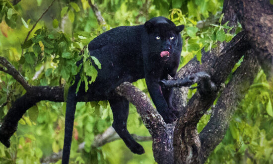 Wildlife Photographer Snaps Black Leopard After 2 Years Tracking—And the Photos Are Electric