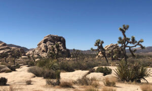 Discover the Flora and Fauna of Joshua Tree National Park
