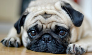 Ingested Pennies Are Toxic to Pets