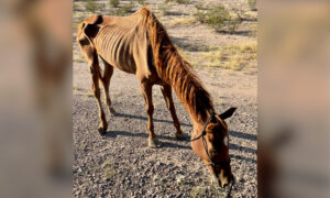 'A Walking Skeleton': Horse Left to Fend for Herself in Desert Saved in Nick of Time, Making Recovery