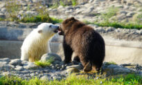 VIDEO: Orphaned Baby Grizzly Meets Polar Bear Cub Companion After Arriving at Detroit Zoo