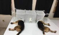 How a Watchdog Group Exposed the Role of Anthony Fauci in Funding Abusive Animal Experiments