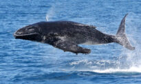 Whale Watchers Snap Humpback Calf Seeming to Soar Through the Air in Perfectly Timed Photos