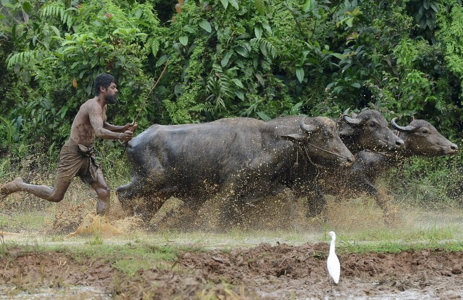 A Sri Lankan farmer ploughs a field in Horana, on the outskirts of Colombo, on Nov. 27. (LAKRUWAN WANNIARACHCHI/AFP/Getty Images)