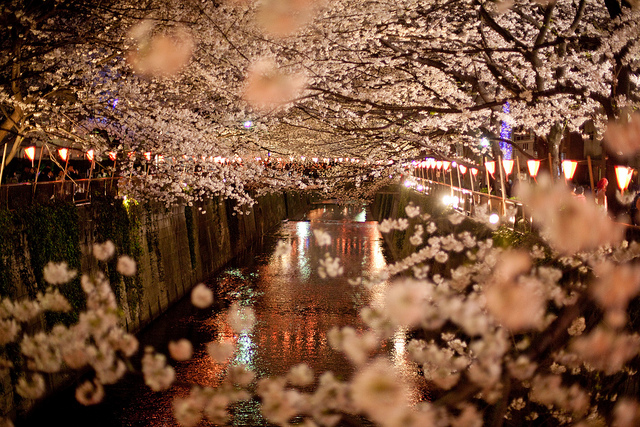 Cherry blossoms lining the river in Naka-meguro, Tokyo, Japan. (SF Brit/flickr)