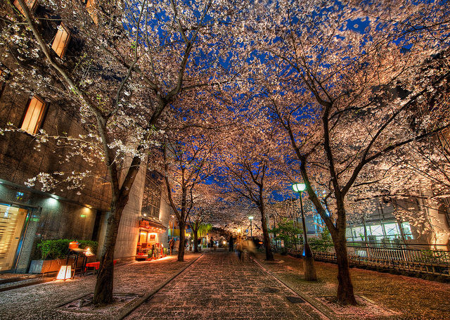 A Silent Evening in Kyoto Under the Cherry Blossoms. Kyoto is one of the most popular cities for cherry blossom viewing. (Trey Ratcliff/flickr)