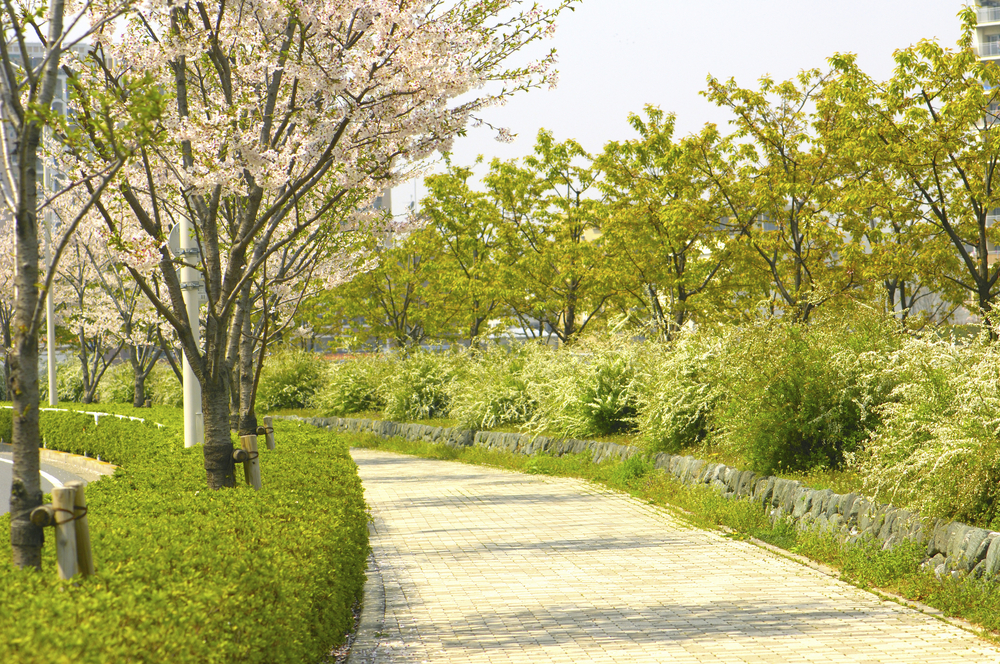 A path lined with cherry trees in Japan. Cherry trees are less interesting to look at after the blooms are gone. (Shutterstock)
