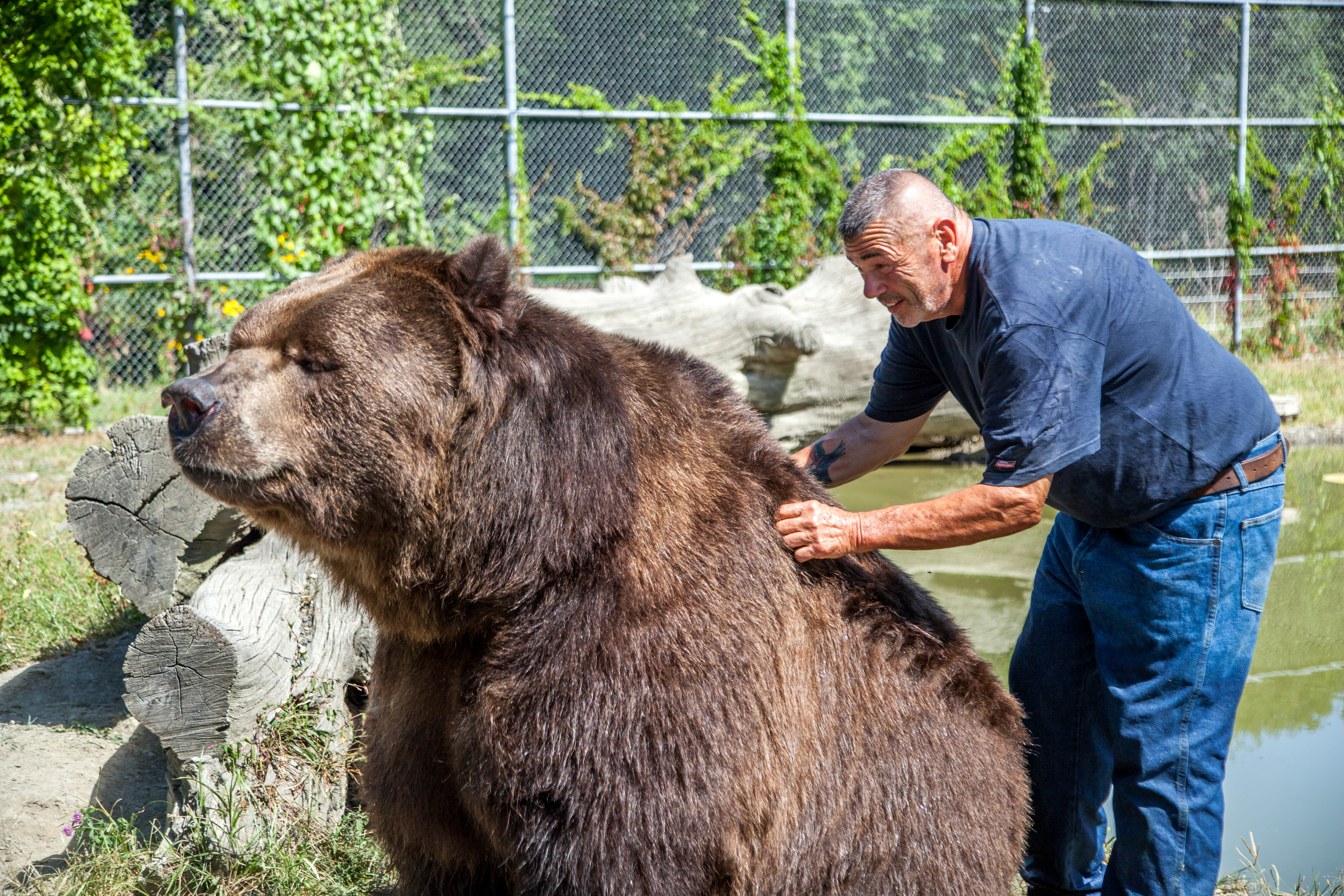 Jim Kowalczik scratching the back of 22-year-old Kodiak bear Jimbo in the bear's enclosure at the Orphaned Wildlife Center in Otisville on Sept. 7, 2016. (James Smith)