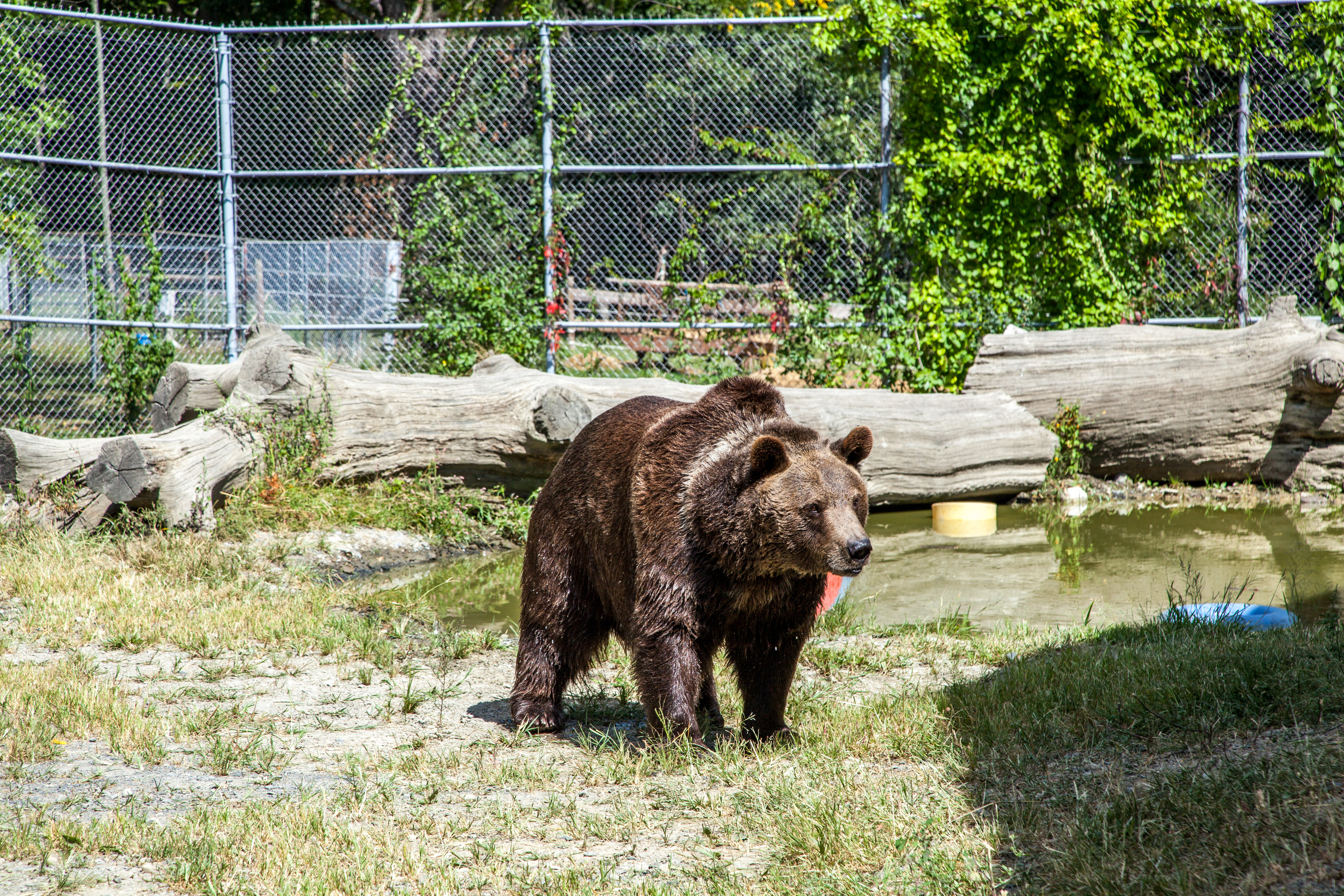 Leo, a 22-year-old Syrian bear, in an enclosure at the Orphaned Wildlife Center in Otisville on Sept. 7, 2016. (James Smith)