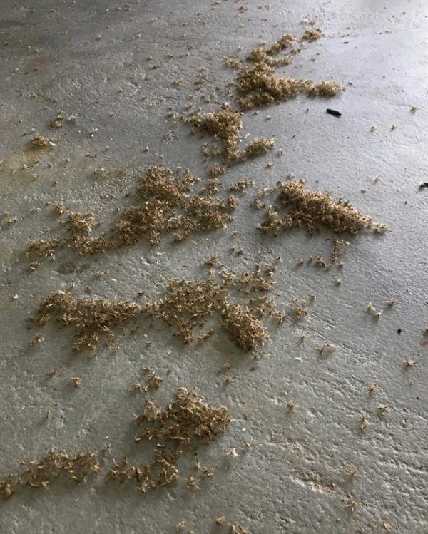 Piles of dead blind mosquitoes, or aquatic midges, are seen in an airplane hangar