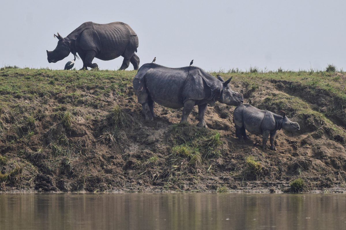 One-horned rhinos 2