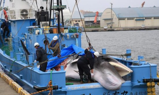 First Whales Caught as Japan Resumes Commercial Hunt After 30 Years