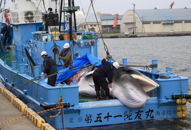 Workers prepare to unload captured Minke whale after commercial whaling at a port in Kushiro, Hokkaido Prefecture, Japan, on July 1, 2019. (Kyodo/via Reuters)