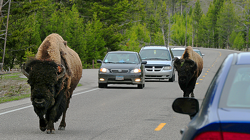 American Bison join the morning commute on Highway 89 at Yellowstone National Park, Wyoming on June 1, 2011. (Mark Ralston/AFP/Getty Images)